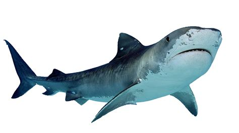 Shark Image Shark Png Transparent Shark Png Images Pluspng