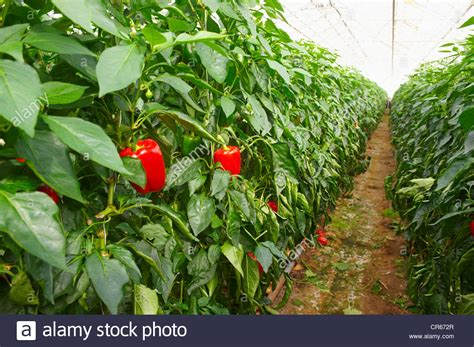 island sudurland region hveragerdi anbau roten paprika im gew 228 chshaus stockfoto bild