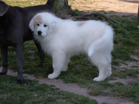 Great Pyrenees Shedding by Great Pyrenees Breeds Picture