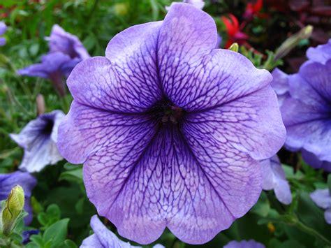 images of petunias file 4220 thun petunia jpg