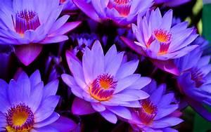 Purple Lotus Flower Wallpaper - HD