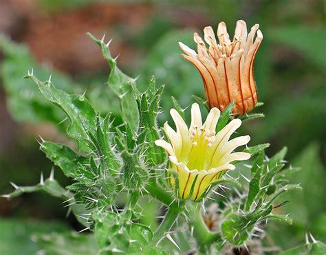 photo cactus flowers flowers plant  image