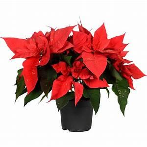 Weihnachtsstern Pflanze Kaufen : weihnachtsstern rot mit goldglitter topf ca 13 cm ~ Michelbontemps.com Haus und Dekorationen
