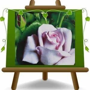 Mainzer Fastnacht Rose : hybrid tea rose mainzer fastnacht sissi blue moon 2 years euro plants vivai ~ Orissabook.com Haus und Dekorationen