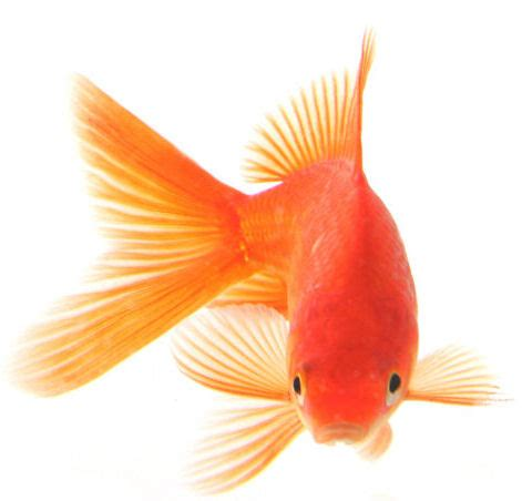 fish information blog goldfish   types