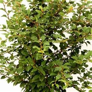 Winterharte Kübelpflanzen Hochstamm : zwergzierkirsche hochstamm kojou no mai kaufen ~ Michelbontemps.com Haus und Dekorationen