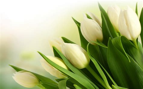 tulips wallpapers  wallpapers