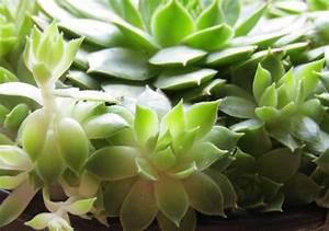 Plante Succulente Espèces Représentatives : plante succulente une le on d 39 conomie d 39 eau ~ Nature-et-papiers.com Idées de Décoration