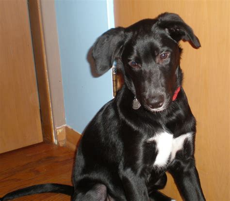 Pet Of The Week Hunter Gray August   Narnia Pet Behavior And Training Chronicles