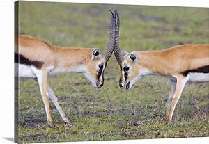 Side profile of two Thomsons Gazelle (Gazella Thomsonii ...