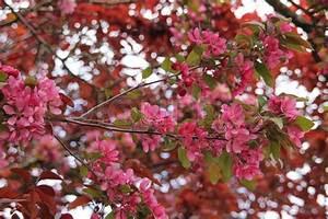 Baum Mit Roten Blättern : zweige mit rosa bl hende bl te knospen stockfoto colourbox ~ Eleganceandgraceweddings.com Haus und Dekorationen
