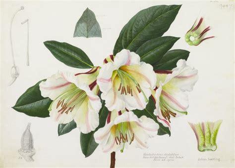 Rhododendron Rhabdutum  Lillian Snelling  Kew Gardens