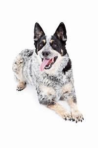 Australian Cattle Dog   Dogs   Breed Information   Omlet