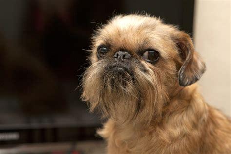 Suņi ar bārdu (26 fotogrāfijas): kas ir neparasts bārdains ...