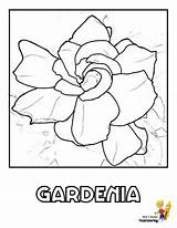 Coloring Gardenia Flower Pages Flowers Hydrangea Template Yescoloring Templates Popular Rose Sketch Daisies Lily Ten sketch template