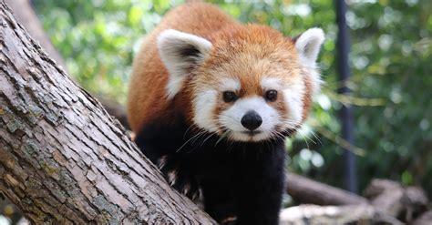 Red Panda Weekend Assiniboine Zoo Manitobakidsca