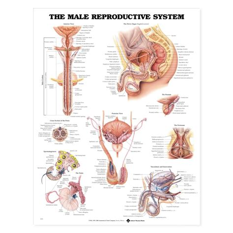 male reproductive system anatomy poster anatomical chart