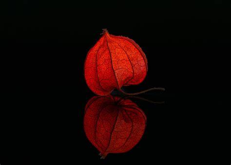 lampionblume illuminated studio  photo  pixabay