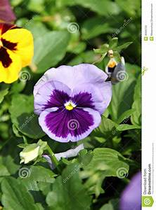 Blue Pansy Or Viola Flower. Royalty Free Stock Images ...