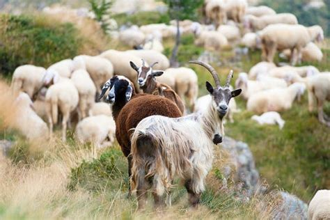chinese woman killing  goat women kill animals animal slaughter animal activist animals