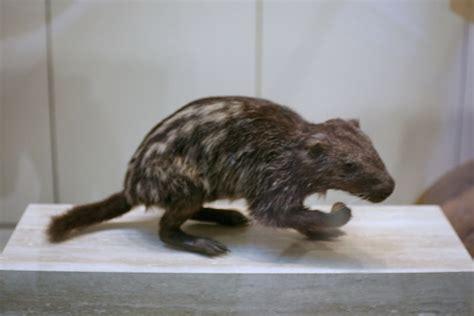 la pacarana  guagua  rabo en peligro de extincion en
