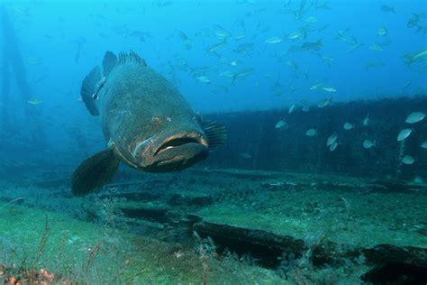 grouper goliath monster florida