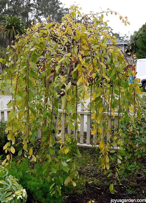 weeping pussy willow tree care tips joy  garden