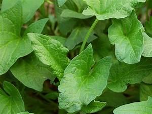 Japanischer Spinat Pflanze : guter heinrich wilder spinat samen kaufen ~ Frokenaadalensverden.com Haus und Dekorationen