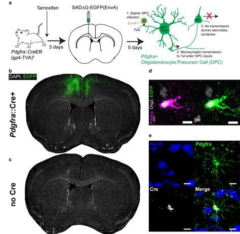 monosynaptic tracing maps brain wide afferent