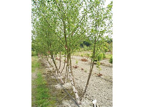 types of birch trees birch tree varieties image search results