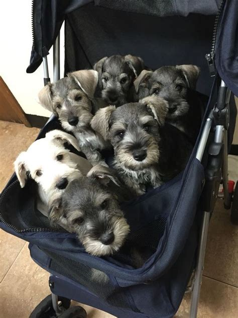 puppies   buggy    dog memes