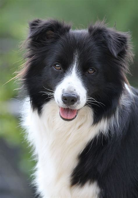 Best Images About Borderlinecollie On Pinterest Border Collie Art Border Collies And White