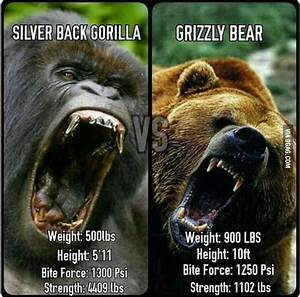 Silverback Gorilla or Grizzly Bear? - 9GAG