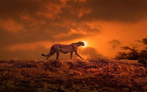 cheetah   sunset hd wallpaper wallpaper studio