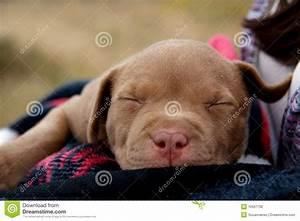Baby Rednose Pitbull stock photo. Image of rednose, cute ...
