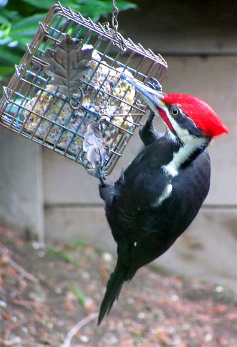 pileated woodpecker feeder 45 best images about with wings on