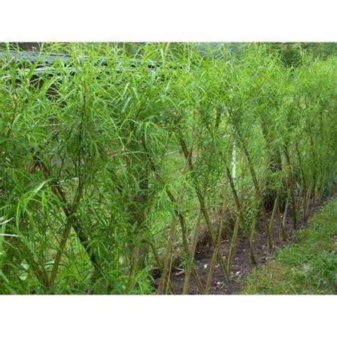 Weiden Pflanzen Als Sichtschutz by Weiden Pflanzen Als Sichtschutz Lebender Sichtschutz