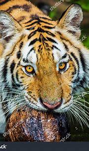 Tiger Portrait Bengal Tiger Stock Photo (Edit Now ...