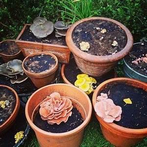 Kaffeesatz Im Garten : pilze im blumentopf auf kaffeesatz selbst z chten foto vom 23 september rosenseitlinge ~ Whattoseeinmadrid.com Haus und Dekorationen