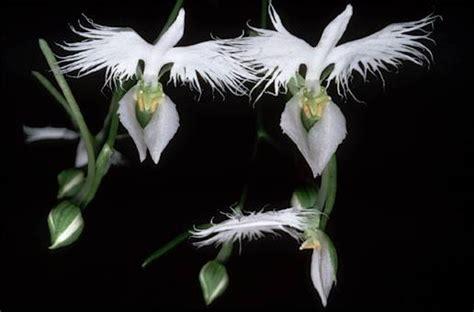 plante fleurie l orchid 233 e la reine des fleurs