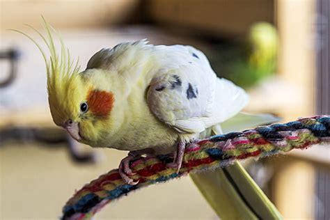 Popular Medium Sized Pet Bird Species