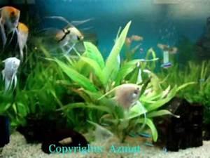 Pterophyllum Scalare Fish VideoLike