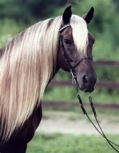 Black Silver Dapple Rocky Mountain Horse