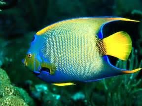 Angelfish Queen Florida Keys