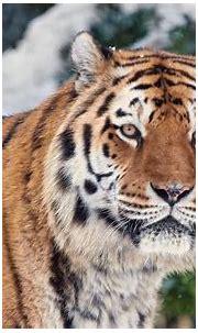 Siberian Tiger Wallpapers - Wallpaper Cave