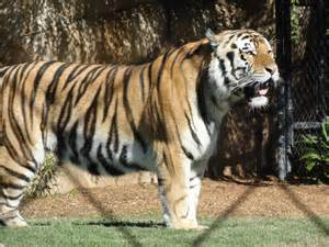 LSU Mascot Mike the Tiger