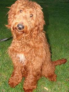 Puppies - Irish Doodle & Goldendoodle Puppies For Sale ...