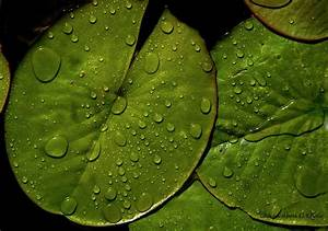 Water Lily Leaf Photograph By Chaza Abou El Khair