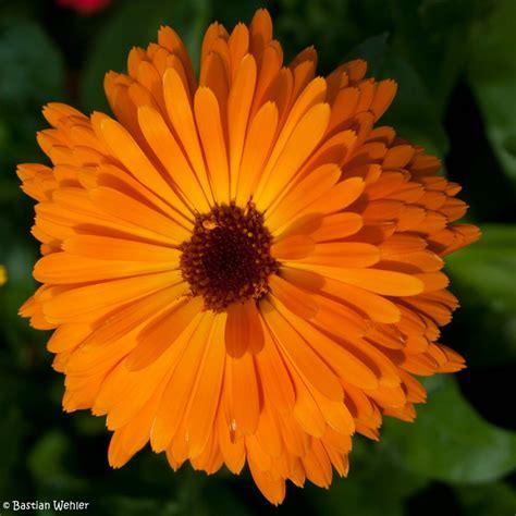 Zimmerpflanze Orange Blüte by Ringelblumen Bastianwehler De