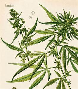 Cannabis Poster Sativa Diagram Print  Botanical
